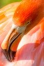 Flamingo closeup of bright orange bird Stock Images
