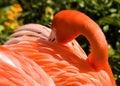 Flamingo closeup view of an american california Stock Photo