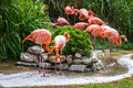 Flamingo family in Lisbon zoo, Portugal Royalty Free Stock Photo