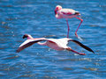 Flamingo in flight on blue water background, Walvis Bay, Namibia, Africa Royalty Free Stock Photo
