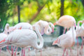 Flamingo flocks, natural backgrounds Royalty Free Stock Photo