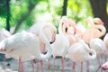 Flamingo flocks,natural backgrounds Royalty Free Stock Photo