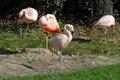 Flamingo four sitting and sleeping in the sun Royalty Free Stock Images