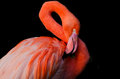 A flamingo grooming itself Royalty Free Stock Photos