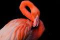 A Flamingo Grooming Itself