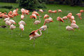 Flamingo a group of pink flamingos resting on grass Royalty Free Stock Photography