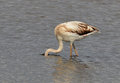 Flamingo hiding face in the lake searching prey Stock Images