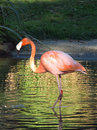Flamingo in the lake Royalty Free Stock Photo