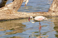 Flamingo at lake bogoria kenya a standing in the water in Royalty Free Stock Photos