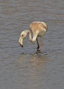 Flamingo in the lake young searching prey Royalty Free Stock Images