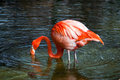 Flamingo Looking for dinner Stock Images