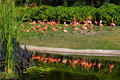 Flamingo a lot of reflection lake Royalty Free Stock Images