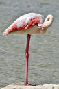 Flamingo near pond phoenicopterus a Royalty Free Stock Photos