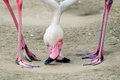 Flamingo pair Royalty Free Stock Photo