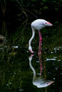 Flamingo in park beautiful is dringking the lake Royalty Free Stock Photography