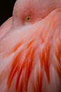 Flamingo phoenicopteridae detail of a pink Royalty Free Stock Photos