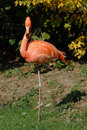 Flamingo a pink standing on one leg Stock Photography