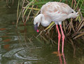 Flamingo pink standing in shallow water Royalty Free Stock Photos