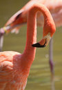 Flamingo Preening Royalty Free Stock Photo