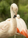 Flamingo preening Royalty Free Stock Photo