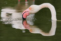 Flamingo reflection Stock Images
