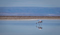 Flamingo reflection on lake, Atacama Desert - Chile Royalty Free Stock Photo