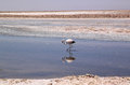 Flamingo in Salar de Atacama, Chile Royalty Free Stock Photo