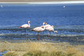 flamingo at salt lake, bolivia Royalty Free Stock Photo