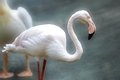 Flamingo before softened background in grey colours Royalty Free Stock Images