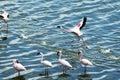 Flamingo take off