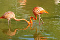 Flamingo two flamingoes are eating in water Stock Images