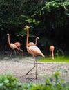 A flamingo is walking Royalty Free Stock Photo