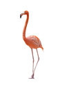 Flamingo on a white background Stock Image
