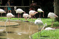 Flamingo in a zoo many birds pink standing on the shore of lake the brown dirt Stock Photos