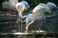 Flamingo in zoo of thailand Stock Photo