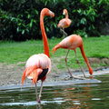 Flamingoes Stock Photo