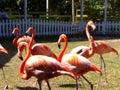Flamingoes bahamas marching pink at ardastra gardens Stock Photos