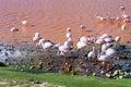 Flamingoes in laguna colorada bolivia uyuni Stock Images