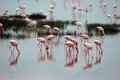 Flamingoes in lake in tanzania africa massed pink Royalty Free Stock Photography