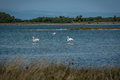 Flamingoes in a pond walking Royalty Free Stock Photo