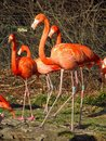 Flamingoes Royalty Free Stock Photo