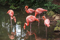Flamingoes in zoo of sao paulo brazil flamingos or are a type wading bird the genus phoenicopterus the only genus the family Stock Photo