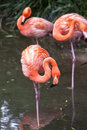 Flamingoes in zoo of sao paulo brazil flamingos or are a type wading bird the genus phoenicopterus the only genus the family Stock Photography