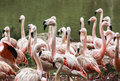 Flamingoes in zoo of sao paulo brazil flamingos or are a type wading bird the genus phoenicopterus the only genus the family Stock Images