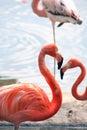 Flamingos On Beach Royalty Free Stock Photo