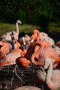 Flamingos big group of pink Stock Photo