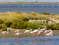 Flamingos in Camargue Royalty Free Stock Photo