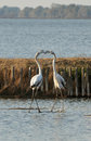 Flamingos fight two fighting in the lake Stock Image