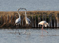 Flamingos fighting two in the marsh Stock Photos