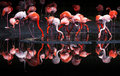 Flamingos or flamingoes are a type of wading bird in the genus phoenicopterus the only genus in the family phoenicopteridae Stock Photography